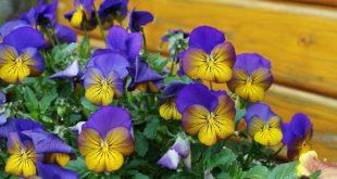Garten im Frühjahr Stiefmütterchen blühen